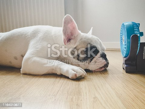 Frenchie dog falling asleep next to mini electric fan