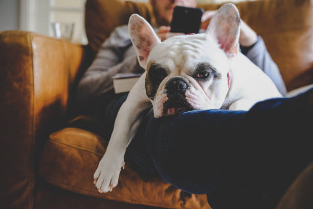 French Bulldog sleeping on man using his smart phone Man relaxing on sofa with his smartphone together with his Frenchie resting on his laps bulldog stock pictures, royalty-free photos & images