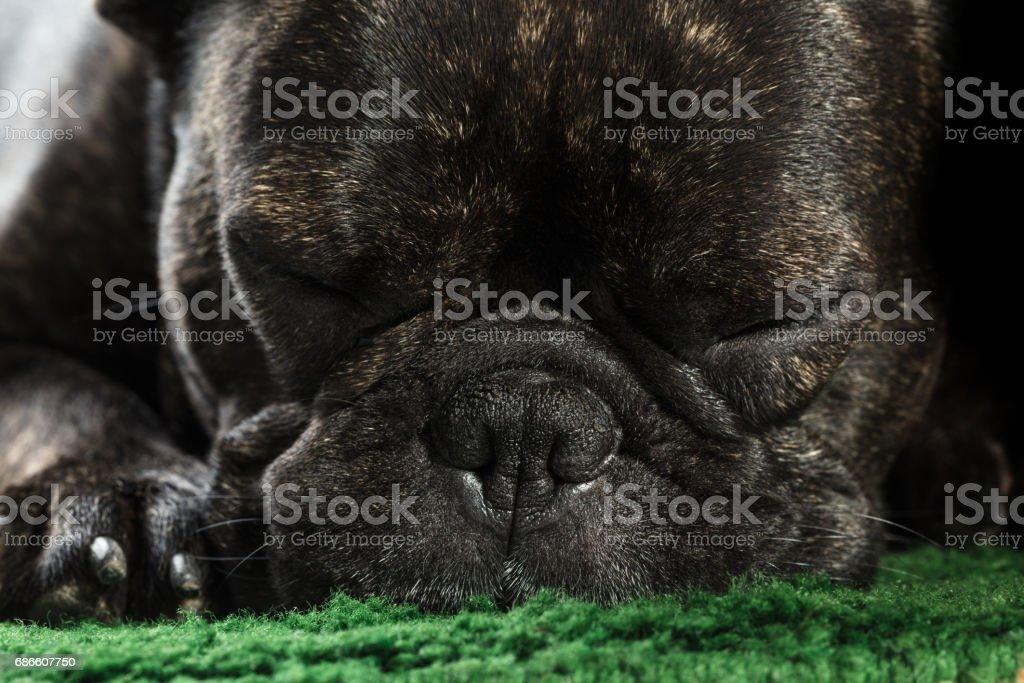 French bulldog sleeping royalty-free stock photo