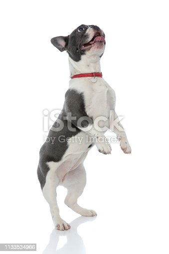 side view of a french bulldog with red dog collar standing on back legs on white background