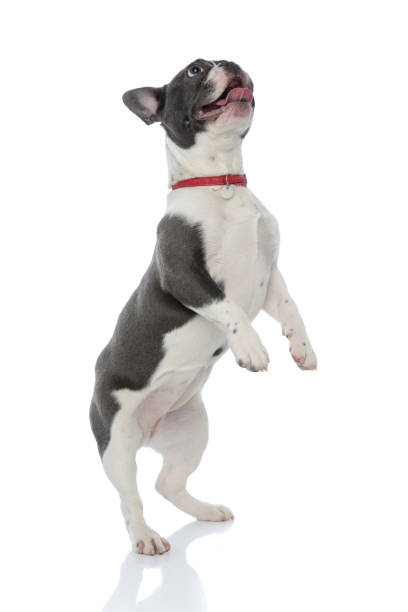 French bulldog standing on back legs picture id1133534966?b=1&k=6&m=1133534966&s=612x612&w=0&h=15e8cdq7qt2lu4jwe34medbtpjh9ylc8xeaor9 dlqe=