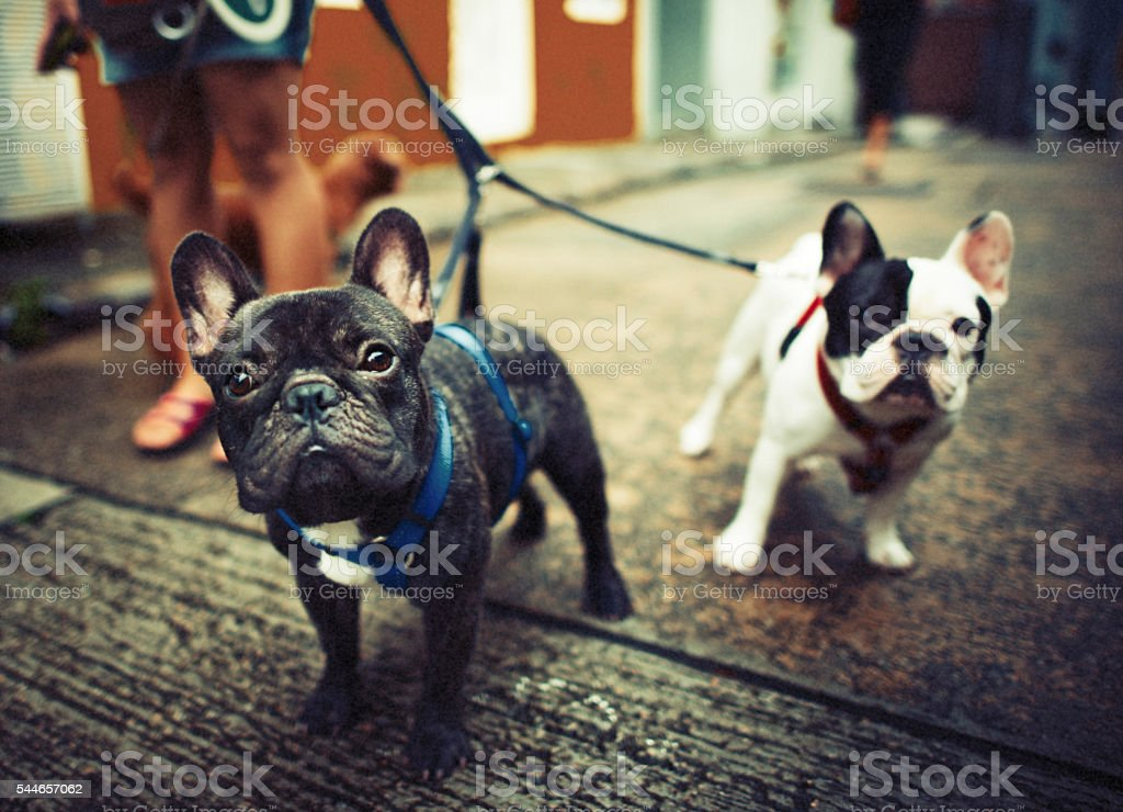 French Bulldog Take a Walk Lovely Pet Animal Concept stock photo
