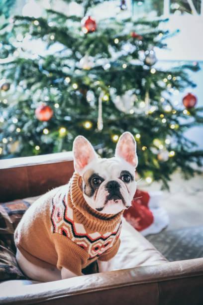 französische bulldogge trägt einen weihnachtspullover posiert vor weihnachtsbaum - strickmantel stock-fotos und bilder