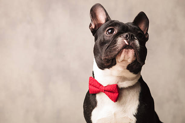 french bulldog wearing a red bowtie while posing looking up cute close portrait black and white french bulldog wearing a red bowtie while posing looking up bow tie stock pictures, royalty-free photos & images