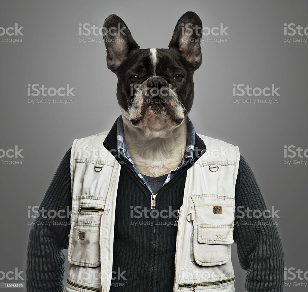 French bulldog wearing work clothes, grey background stock photo