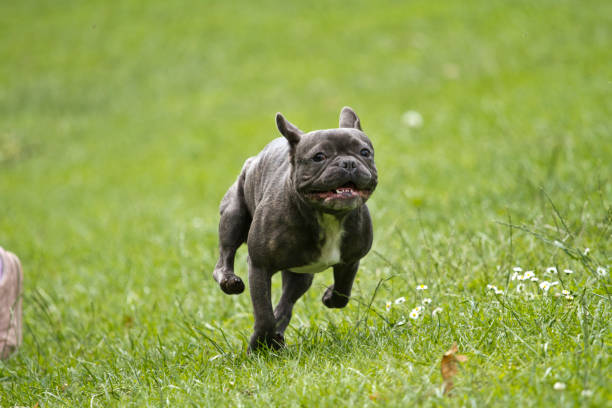 French bulldog with a stick in his mouth running over a green meadow stock photo