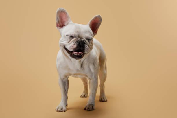Französische Bulldogge mit geschlossenen Augen auf beigefarbenem Hintergrund – Foto