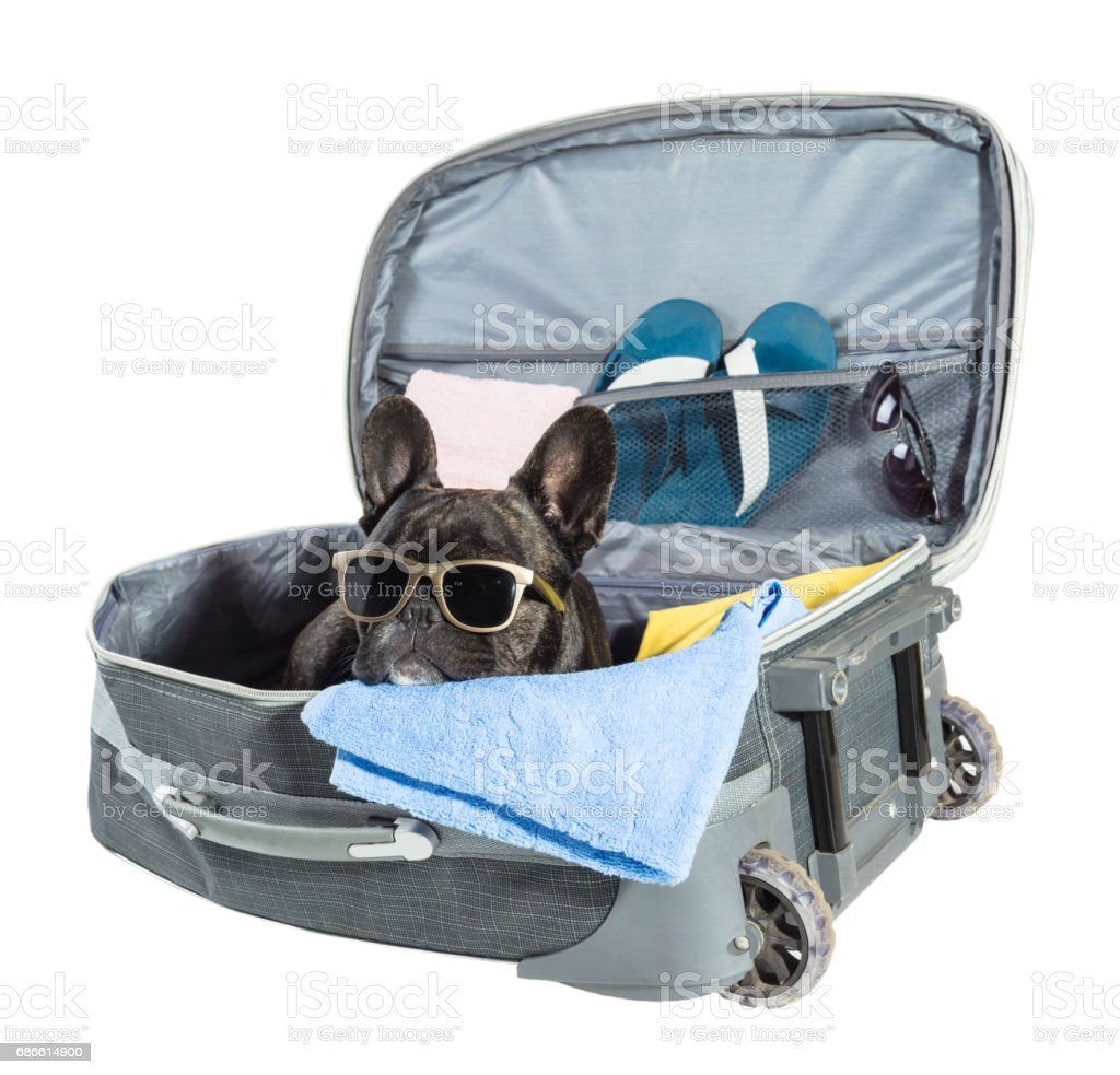 French bulldog with glasses royalty-free stock photo