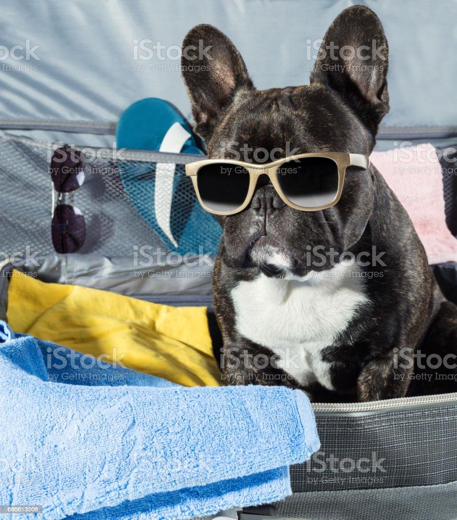 Französische Bulldogge mit Brille sitzt Lizenzfreies stock-foto