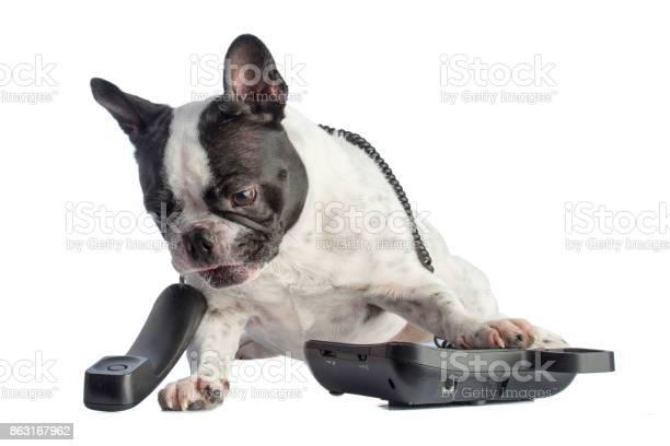 French bulldog with phone picture id863167962?b=1&k=6&m=863167962&s=612x612&h=fyqkfmsvr66rpjn1exnvjcqhkmicrrubiy4wz95lsvy=