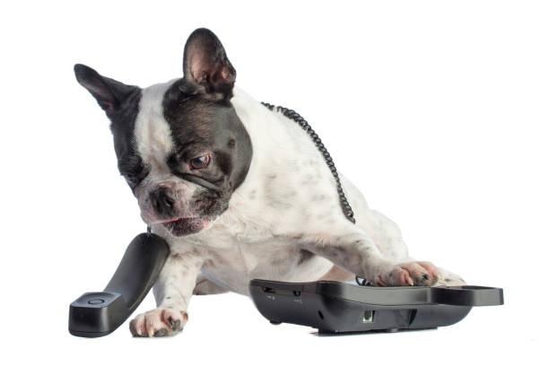 Französische Bulldogge mit Telefon – Foto