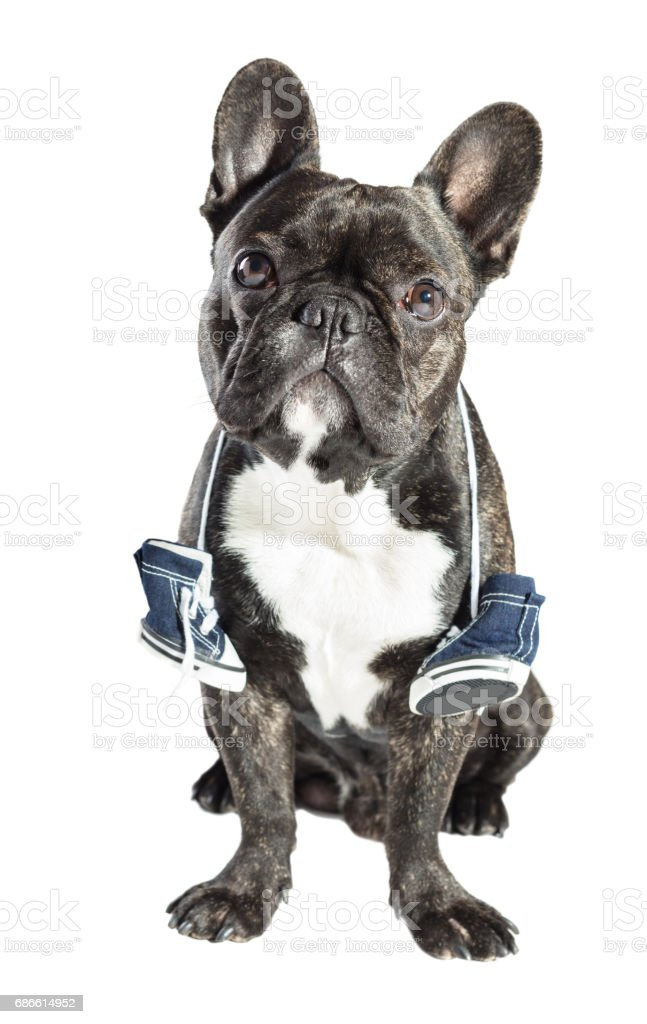 French bulldog with sneakers on the neck royalty-free stock photo