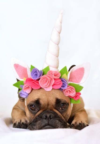 french bulldog with unicorn flower headband - unicorn bed imagens e fotografias de stock