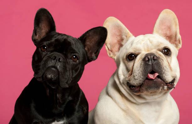 French bulldogs 2 years old in front of pink background picture id1069250952?b=1&k=6&m=1069250952&s=612x612&w=0&h=xb 2efbglxi idnjixtml3kvk1z1sb0njvw hjyljaw=