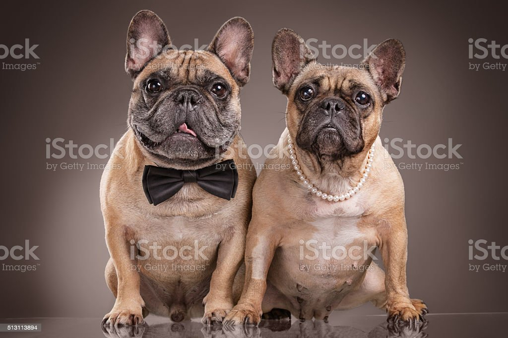 French bulldogs isolated over brown background stock photo
