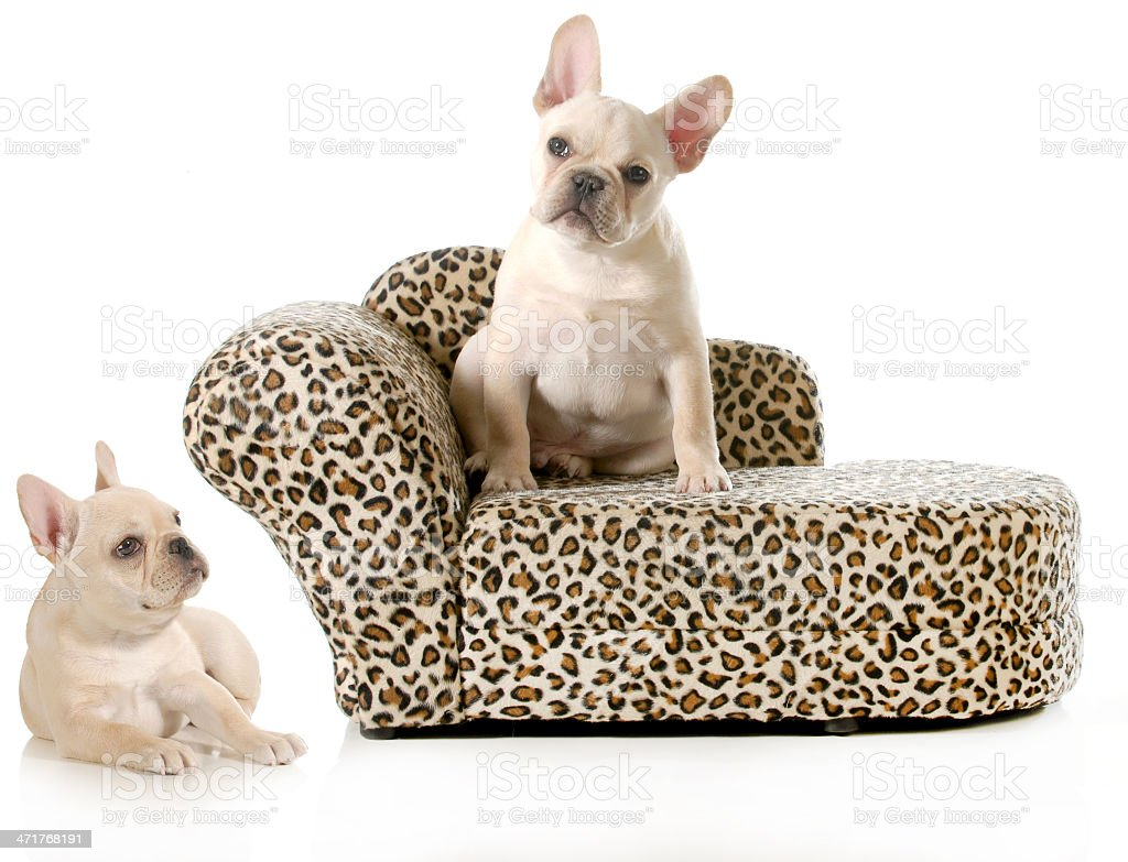 french bulldogs royalty-free stock photo