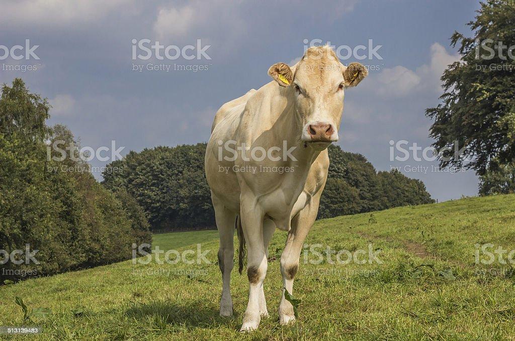 Vieux cow Blonde d'Aquitaine dans un paysage de Hollande - Photo