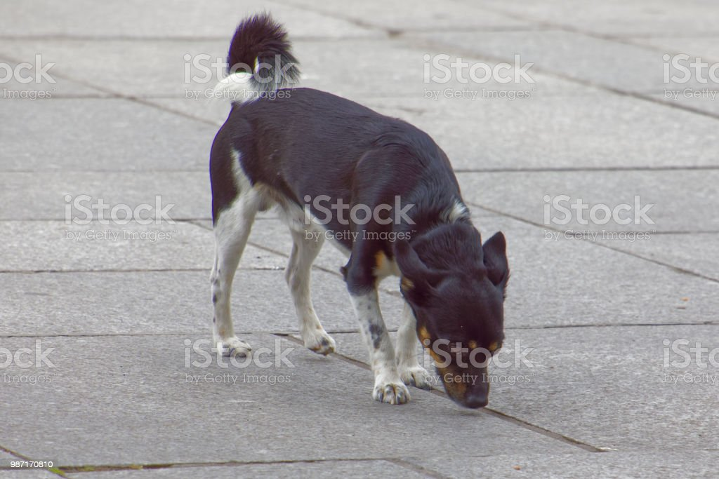 A small dog sniffing the sidewalk in Paris.