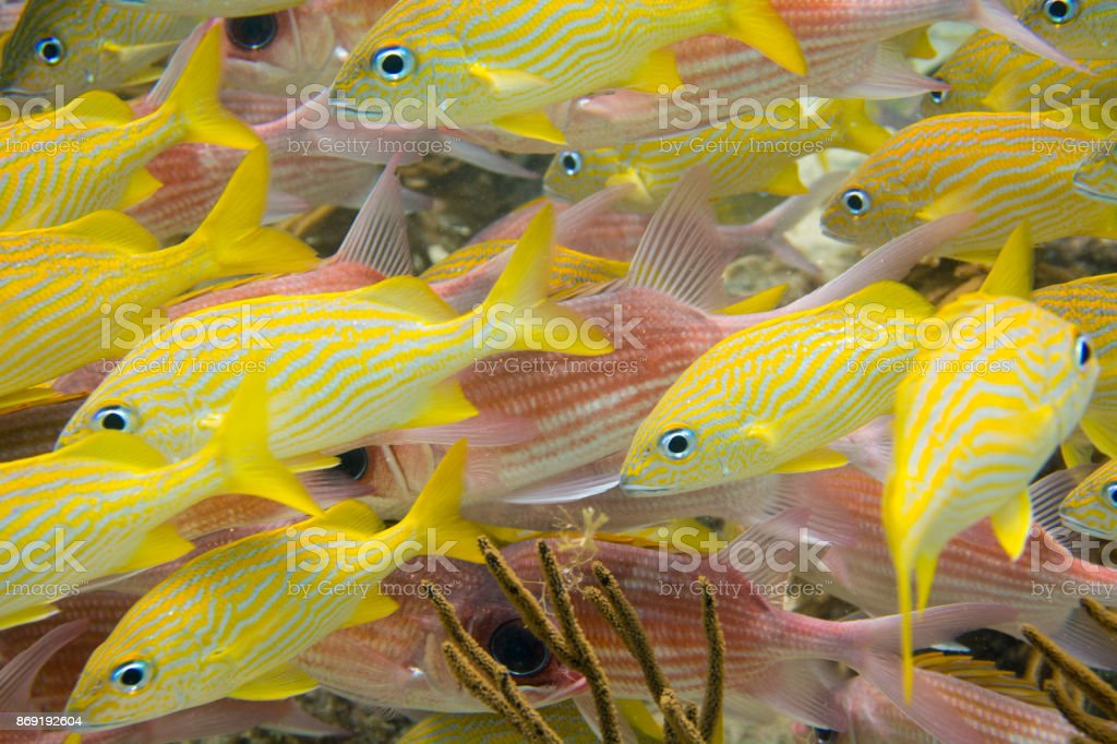 French grunts and squirrel fish stock photo