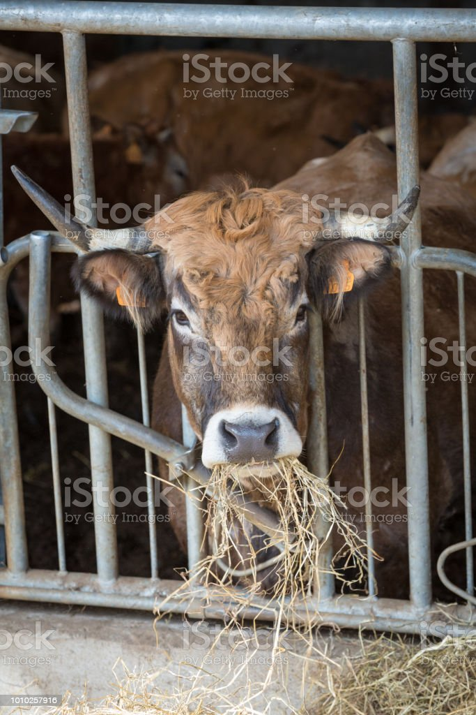 French Horned Dairy Cattle Feeding Stock Photo - Download