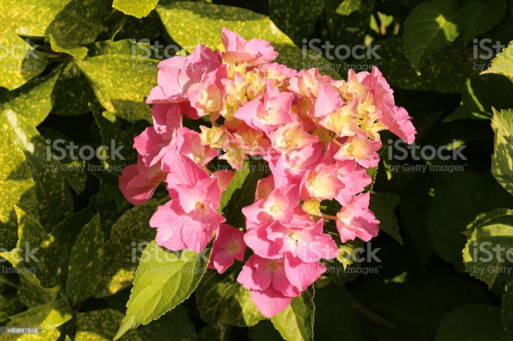 Pink and yellow \'French Hydrangea\' flowers in Innsbruck, Austria....