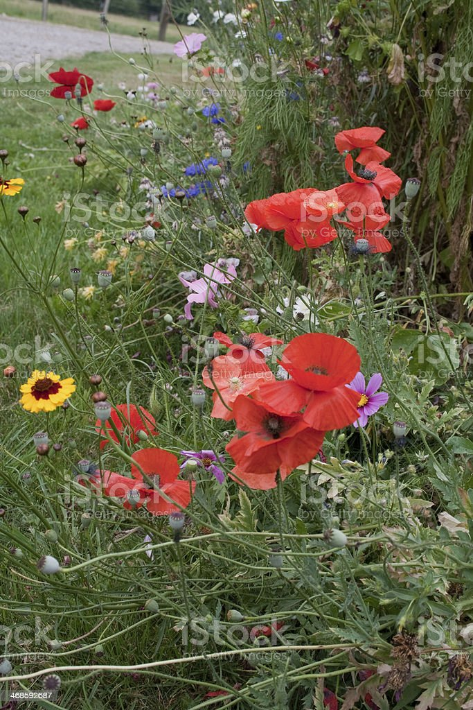 beautiful flowers and poppies in a French cottage style garden.