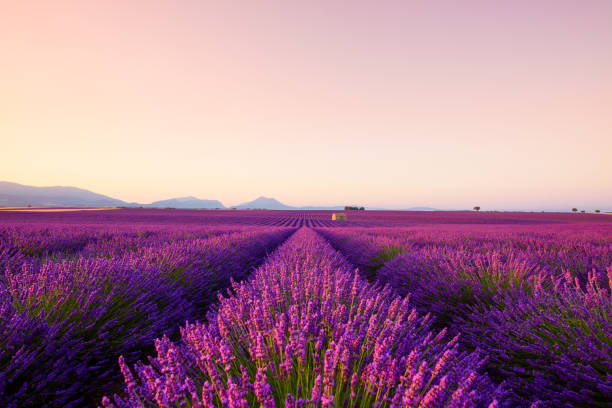 French lavender field at sunrise