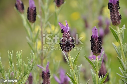 Wild purple lavender growing in the countryside surrounding Marbella, Spain