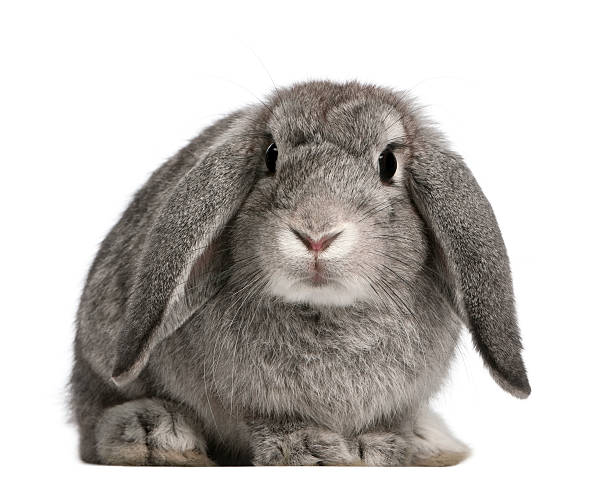 french lop rabbit, 2 months old, oryctolagus cuniculus, sitting - rabbit stock photos and pictures