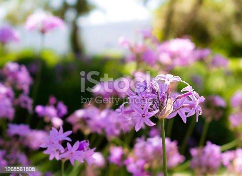 Macro shot of purple striped wild flower (French mallow).