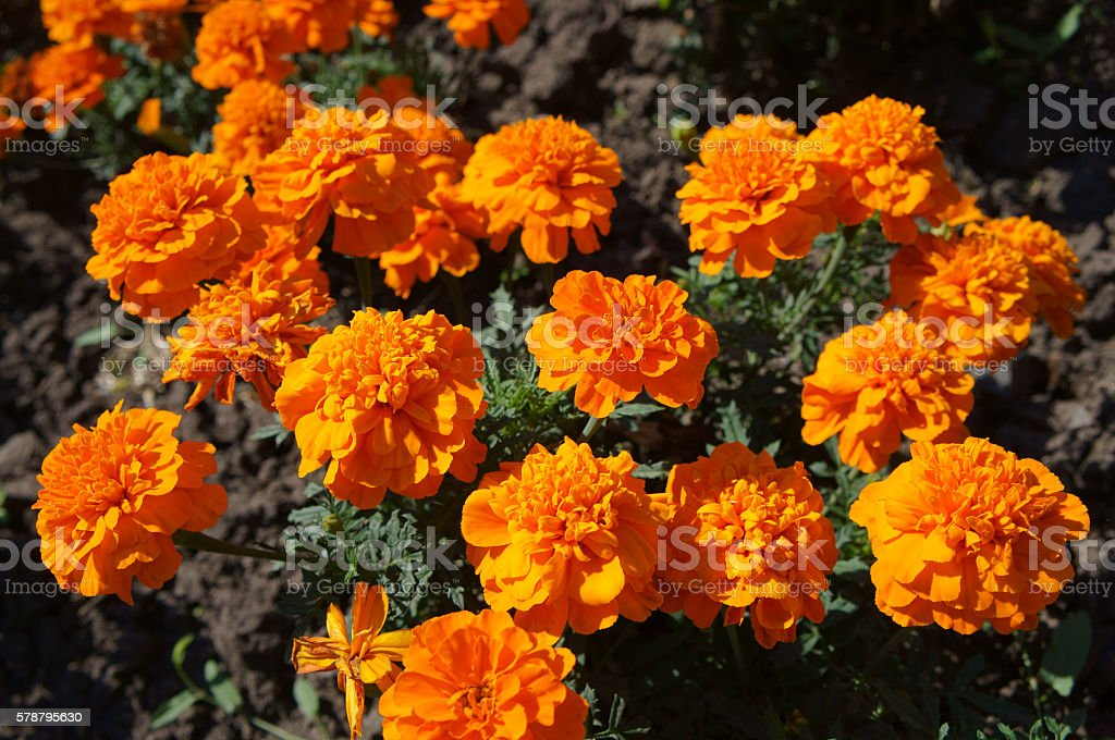 French marigold orange flowers on a sunny day stock photo
