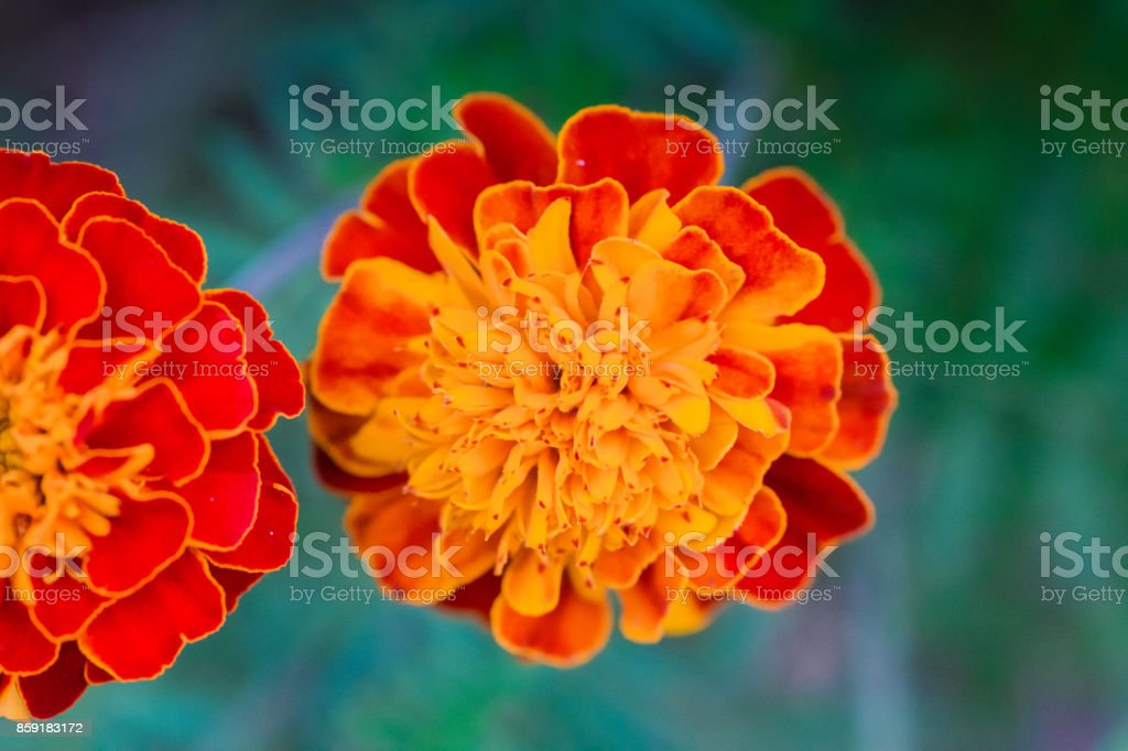 french marigold stock photo