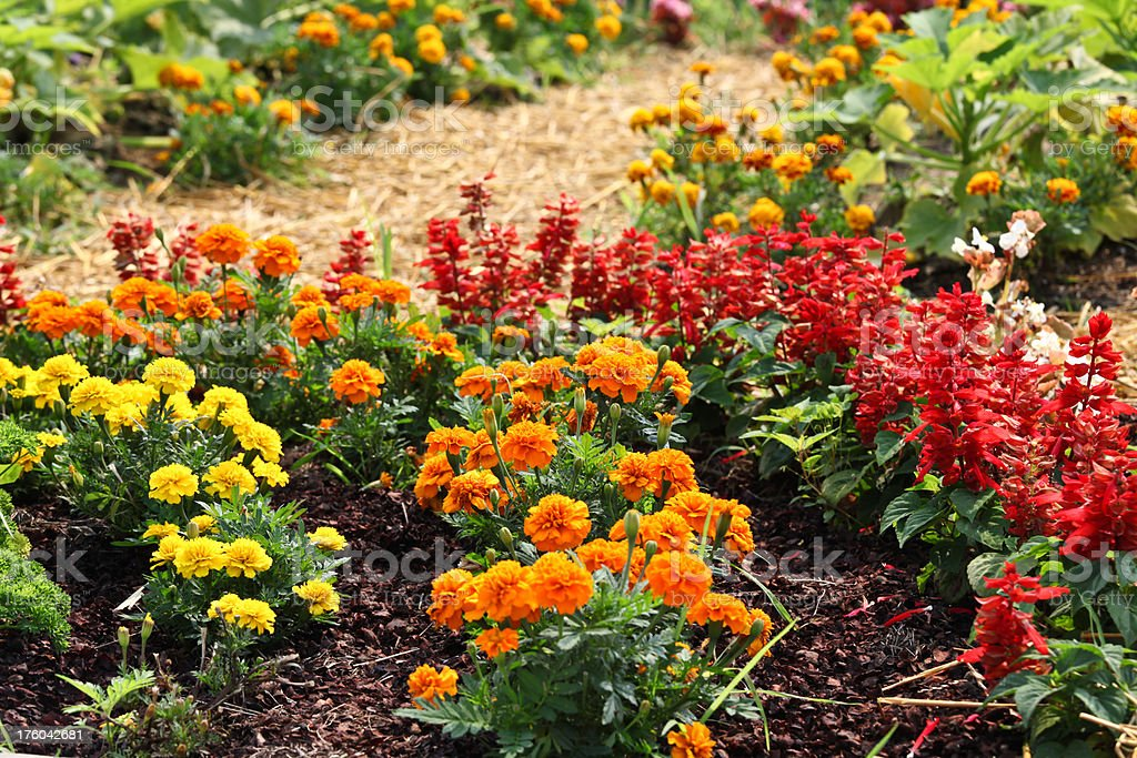 French marigolds and salvia flare royalty-free stock photo
