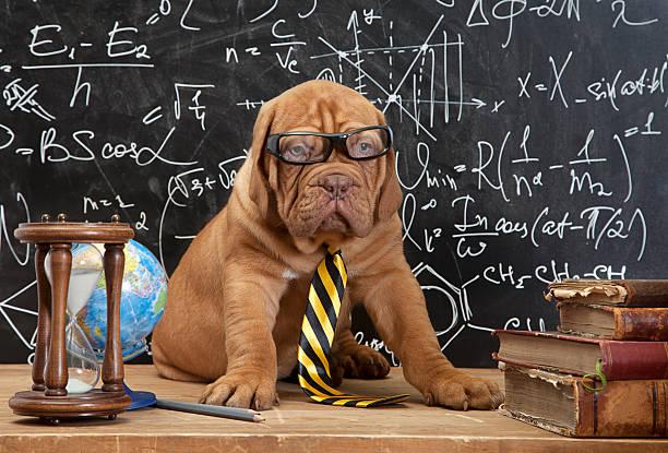 Mastín francés cachorro en gafas con libros - foto de stock