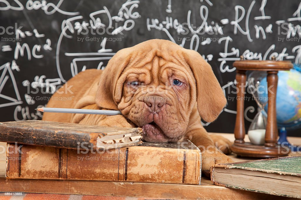 French Mastiff puppy with books stock photo