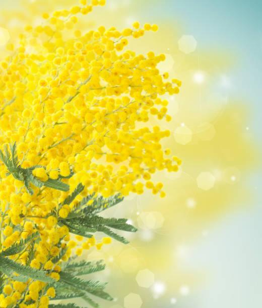 french mimosa - immagini mimosa 8 marzo foto e immagini stock