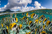 The Pacific Double-saddle Butterflyfish or False Furcula Butterflyfish (Chaetodon ulietensis), is a species of butterflyfish (family Chaetodontidae)