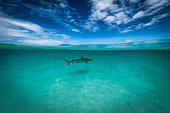 View of a blacktip shark patrolling the waters of the French Polynesia at the south pacific ocean. The blacktip shark (Carcharhinus limbatus) is a species of requiem shark, and part of the family Carcharhinidae.