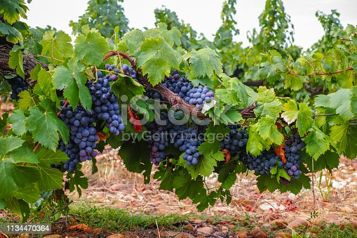 French red and rose wine grapes plant, growing on ochre mineral soil, new harvest of wine grape in France