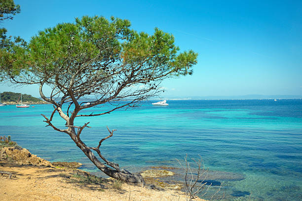 French Riviera Aleppo Pine (Pinus halepensis) on a rocky shore against blue water of the Mediterranean Sea. The island of Porquerolles . French Riviera. var stock pictures, royalty-free photos & images