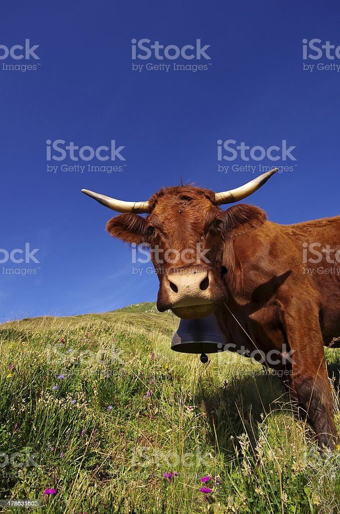 French Salers cow royalty-free stock photo