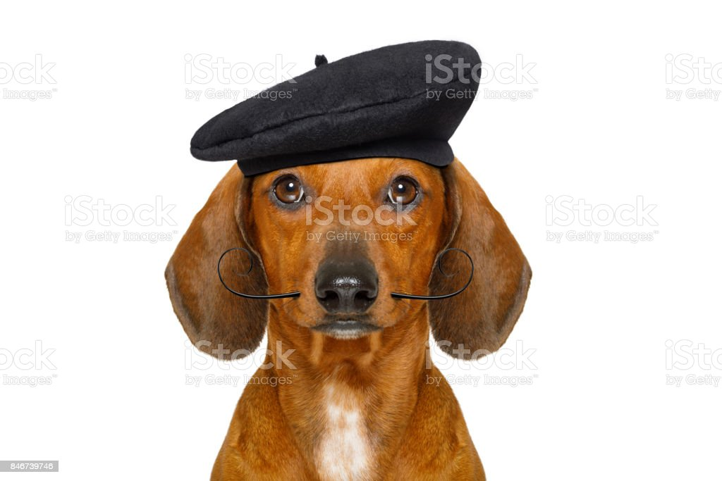 french  sausage  dog stock photo