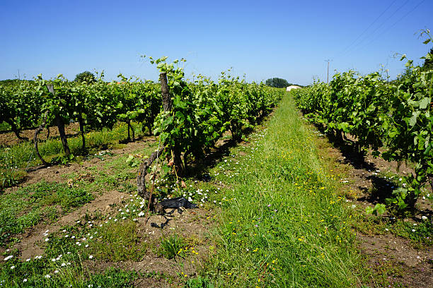 French Vineyard in Charente stock photo