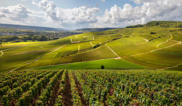 French vineyards with Epic lighting stock photo