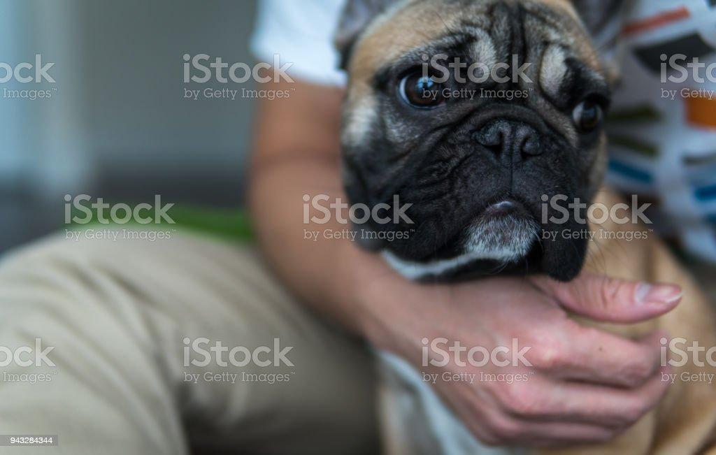 Frenchie companion stock photo