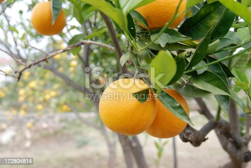 click here for more lemons and tangerines on tree: