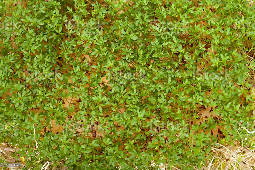 Fresh alfalfa sprouts and cress royalty-free stock photo