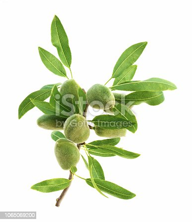 Green almond stem on a white background.