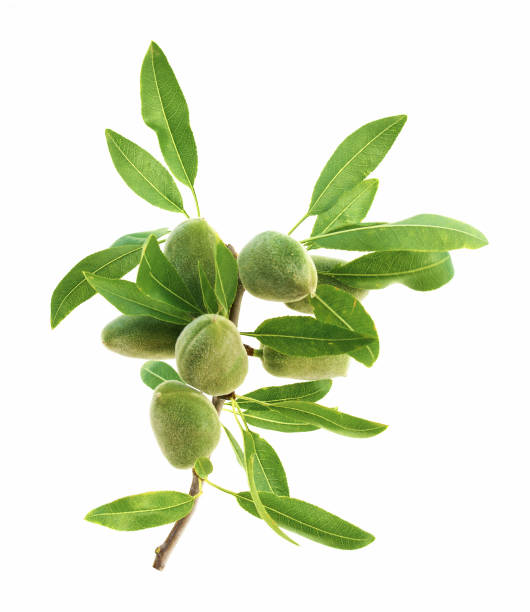 Fresh almonds Green almond stem on a white background. almond stock pictures, royalty-free photos & images