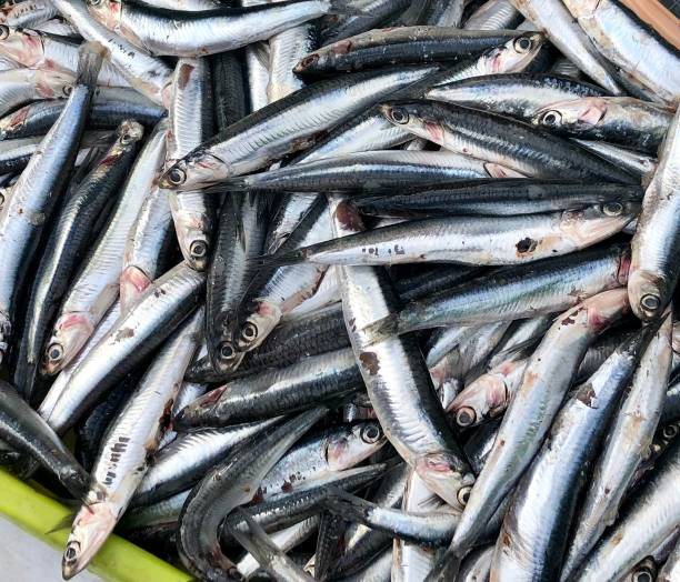Fresh Anchovies on a French Food Market Stall Closeup of fresh, silver and grey anchovies on a seafood stall at a Food Market in France anchovy stock pictures, royalty-free photos & images